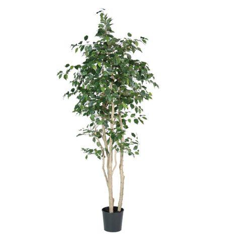 Multi Stem Ficus